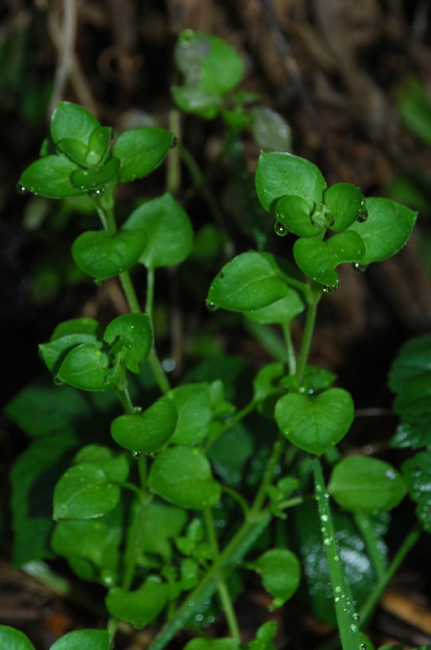 Stellaria media subsp. media 2