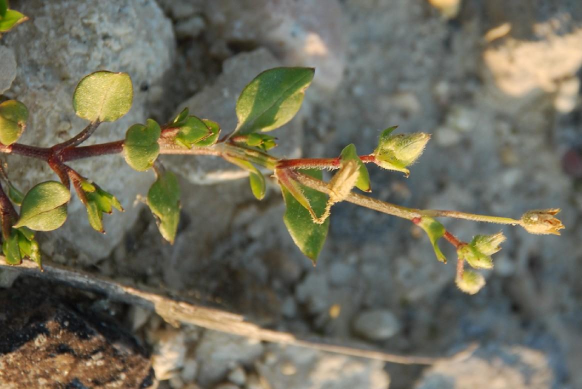 Stellaria media subsp. media 6