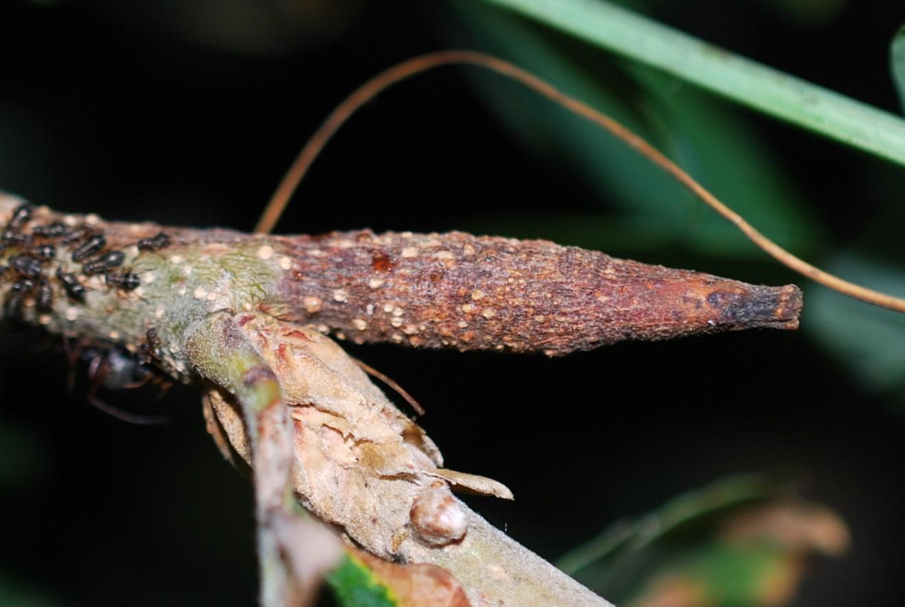 Stenolechia gemmella - Lepidoptera, Gelechiidae