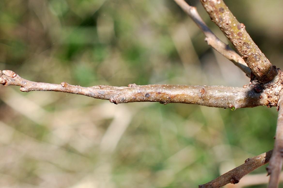 Stenolechia gemmella - Lepidoptera, Gelechiidae 2