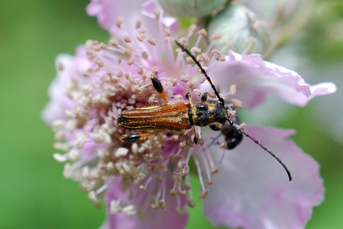 Stenopterus rufus - Cerambycidae