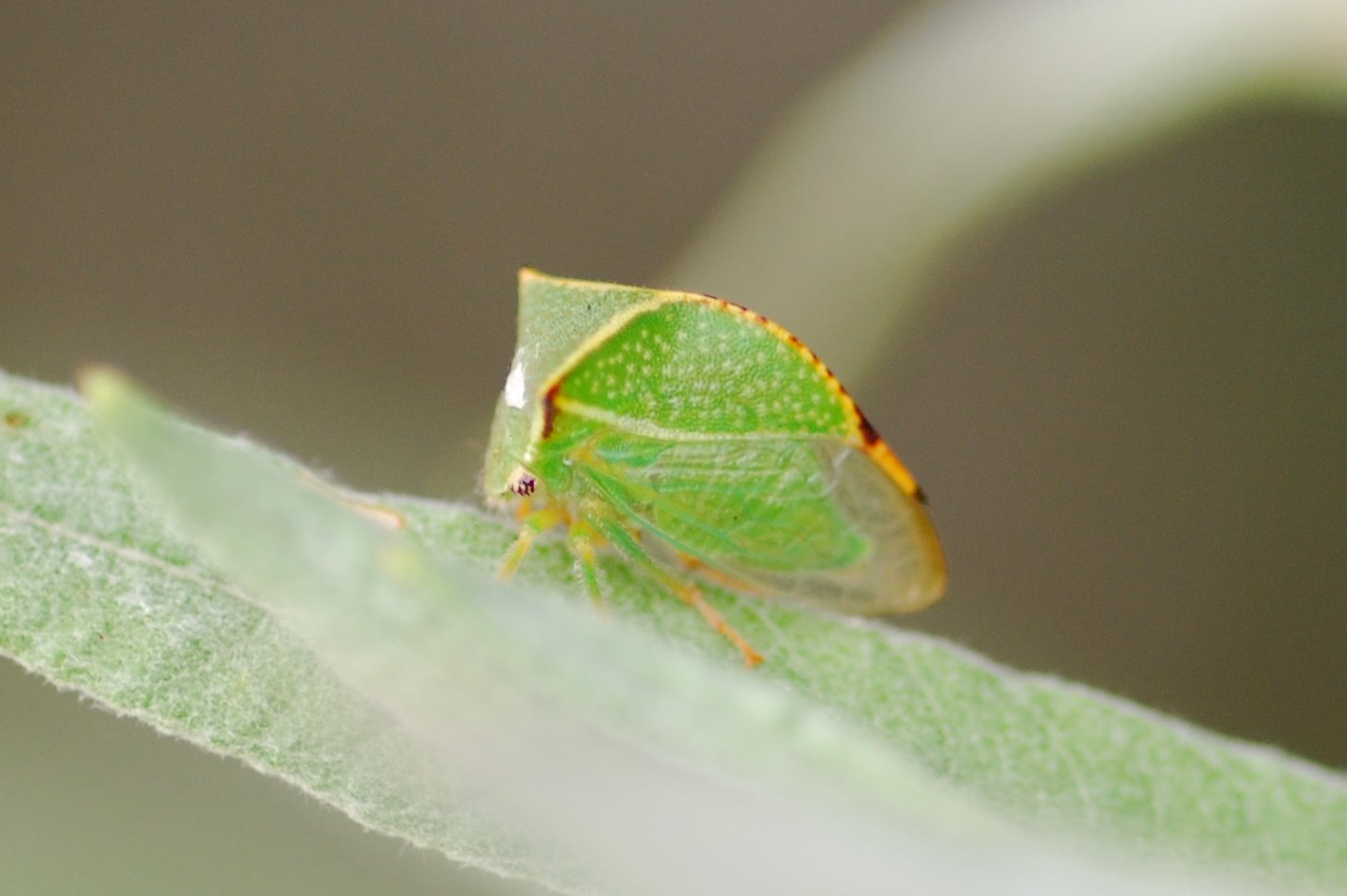 Stictocephala bisolnia - Membracidae