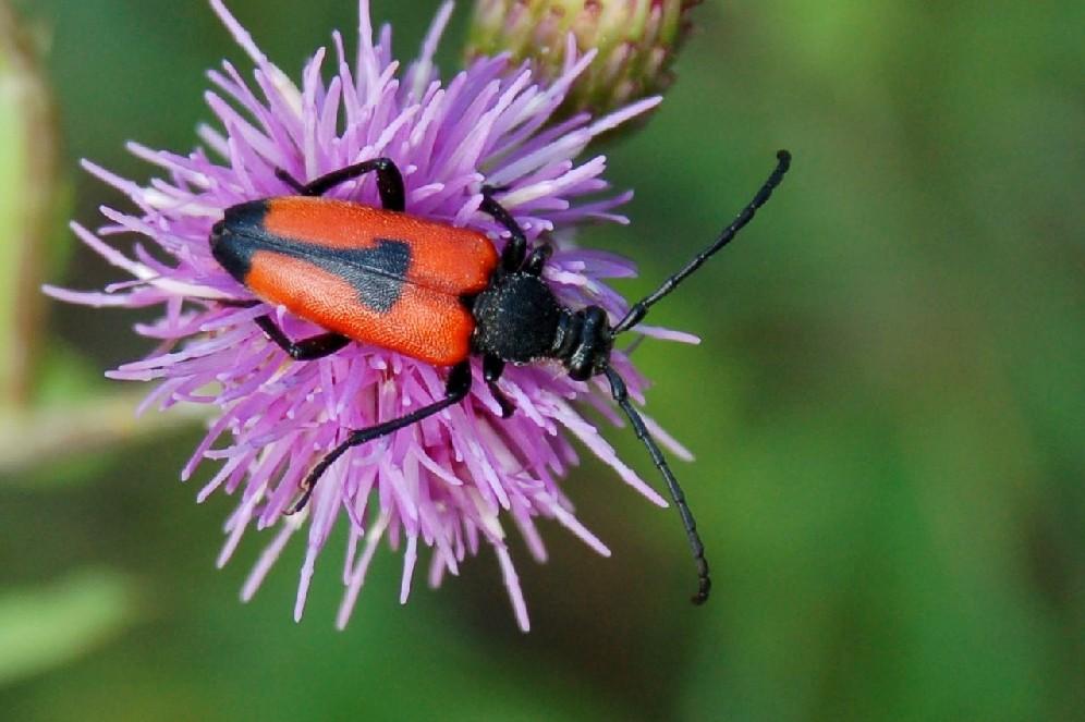 Stictoleptura cordigera - Cerambycidae