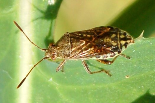 Stictopleurus punctatonervosus - Rhopalidae