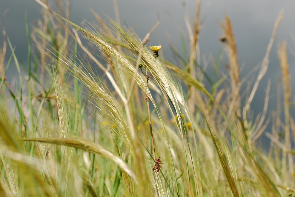Stipa capensis 10