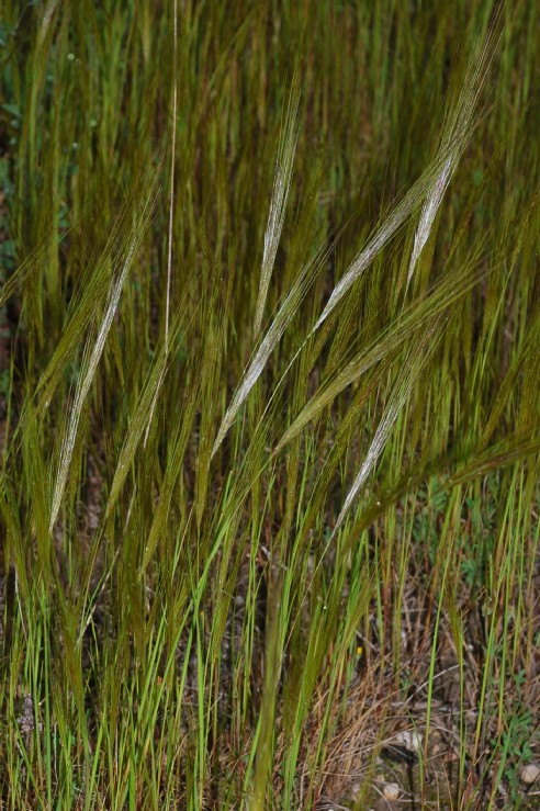 Stipa capensis 14