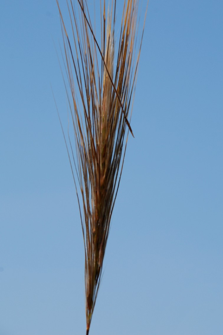 Stipa capensis 15