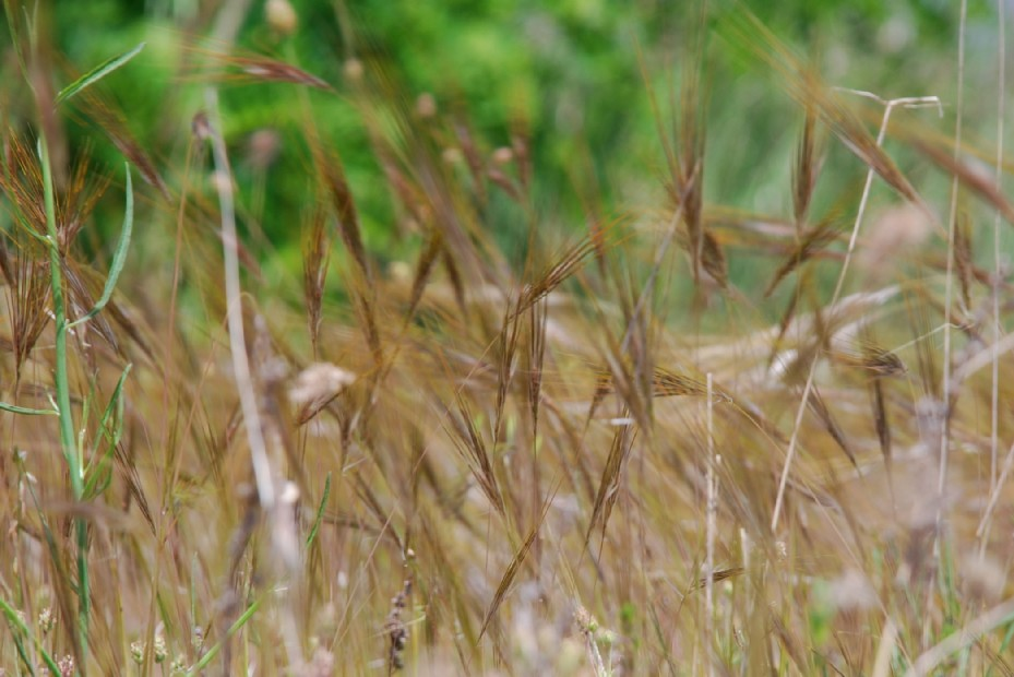 Stipa capensis 16