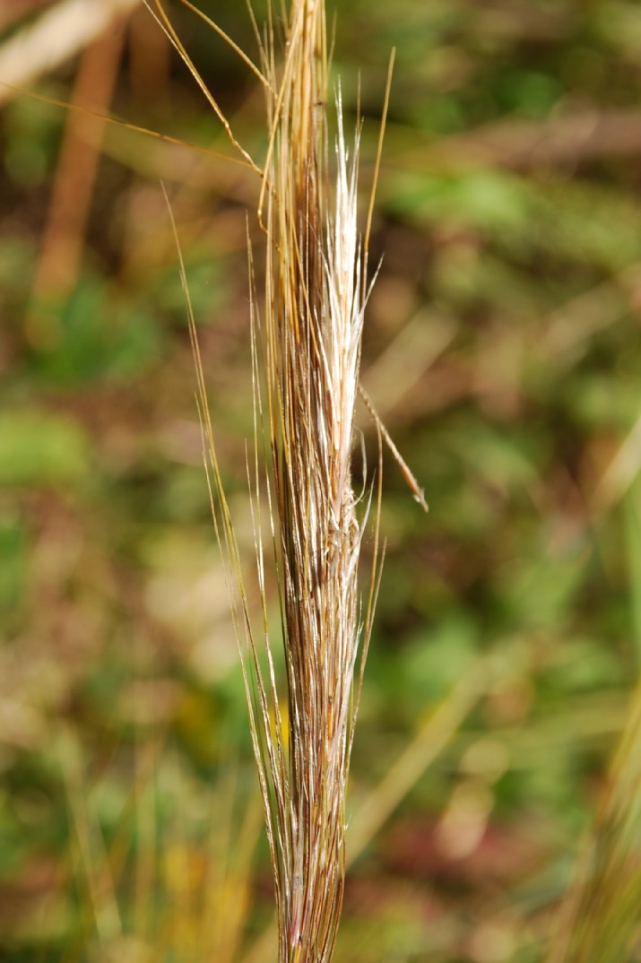 Stipa capensis 19