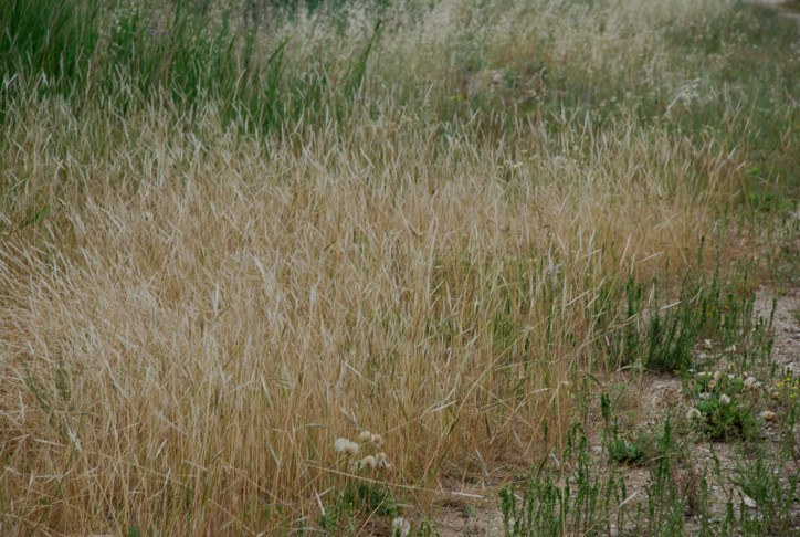 Stipa capensis 2