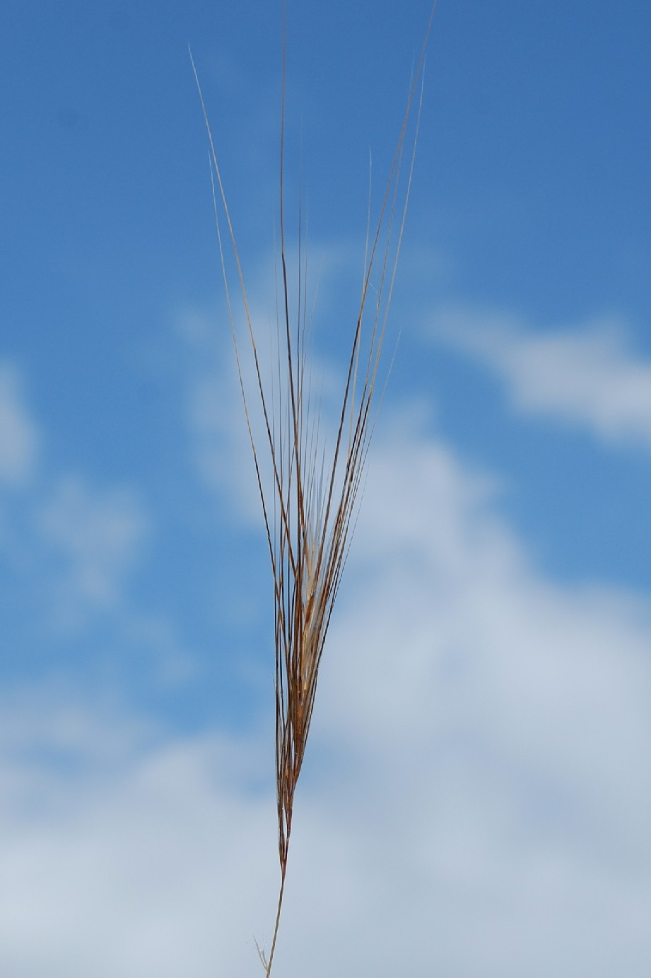 Stipa capensis 20