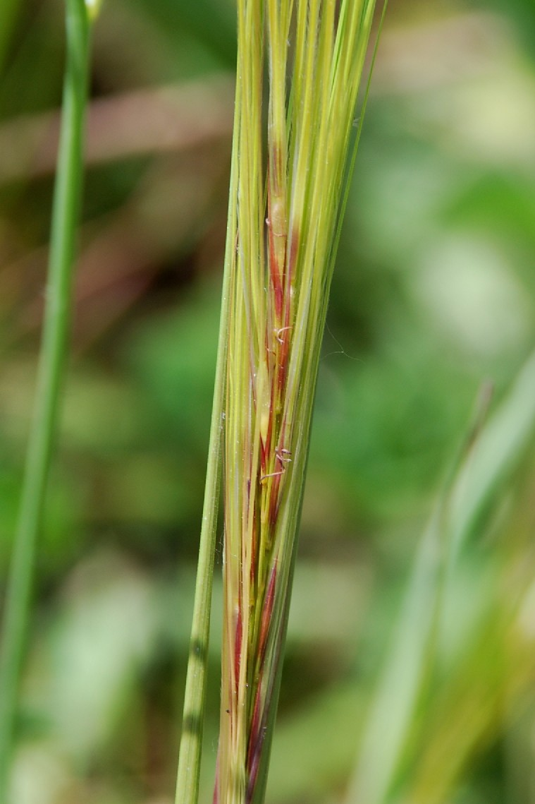Stipa capensis 7