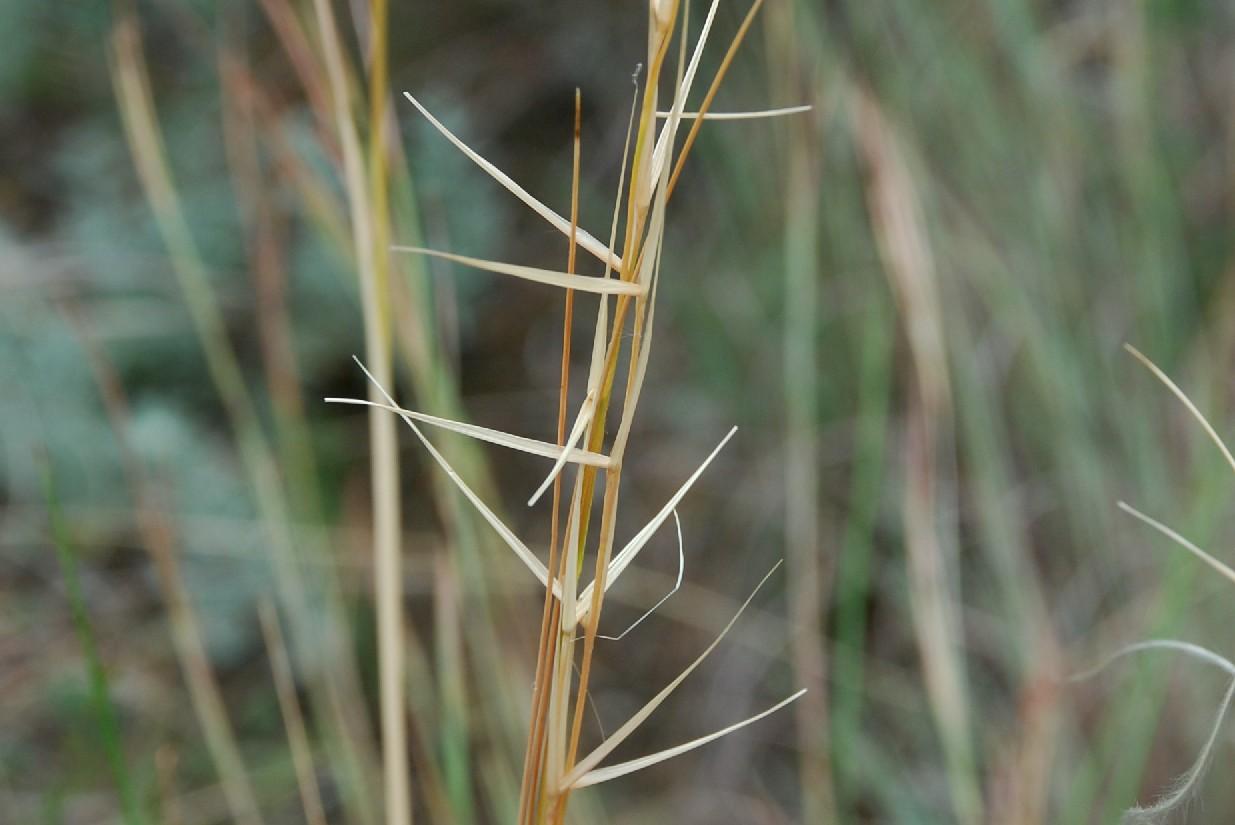 Stipa dasyvaginata subsp. appenninicola 14