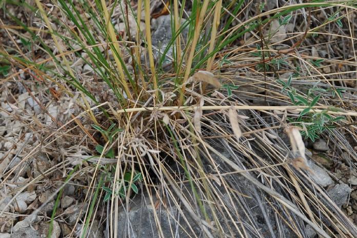 Stipa dasyvaginata subsp. appenninicola 15