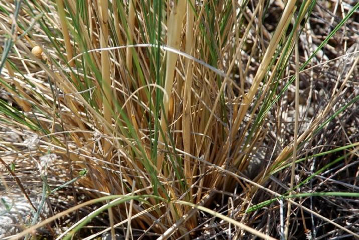 Stipa dasyvaginata subsp. appenninicola 18
