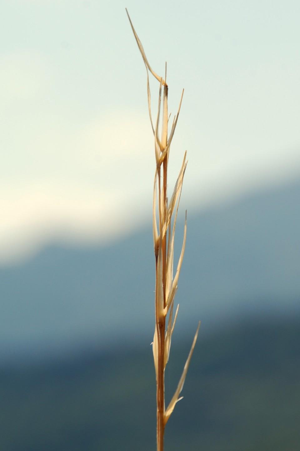 Stipa dasyvaginata subsp. appenninicola 19
