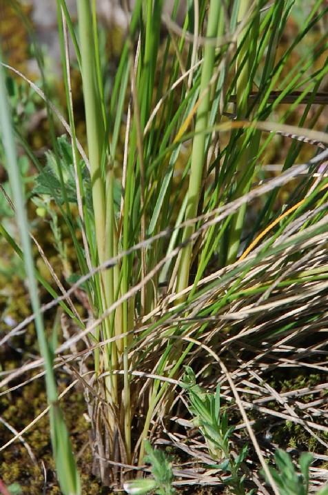 Stipa dasyvaginata subsp. appenninicola 6