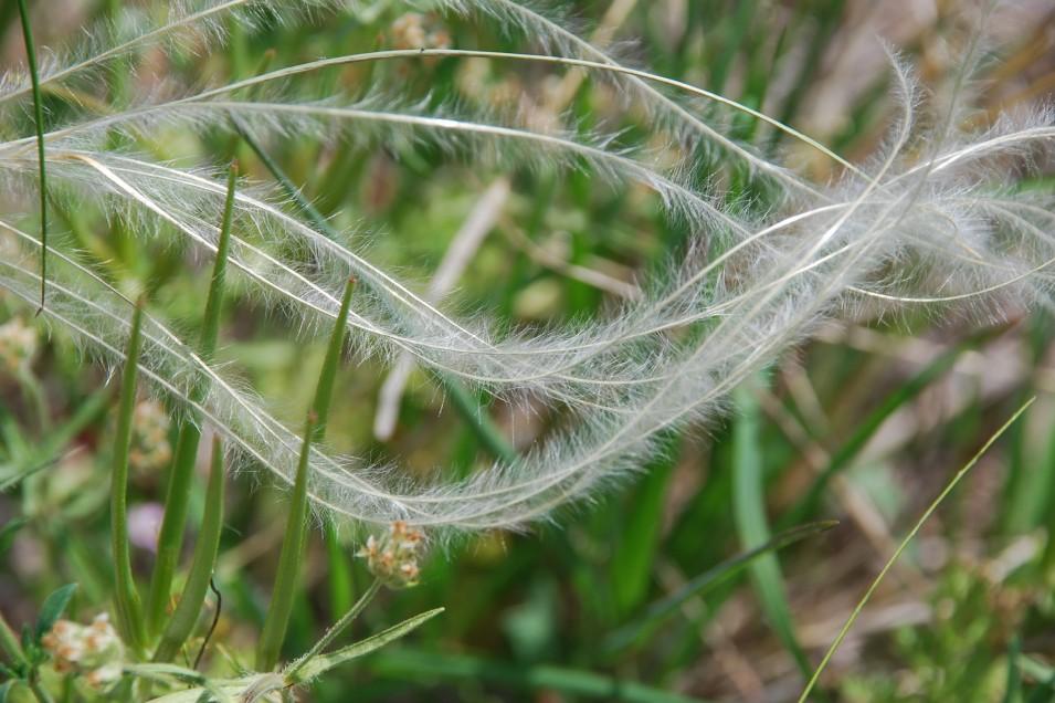 Stipa dasyvaginata subsp. appenninicola 7