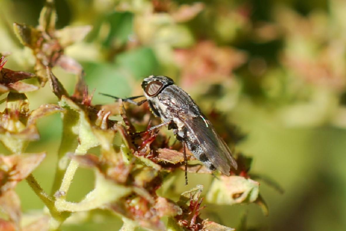 Stomorhina lunata - Calliphoridae