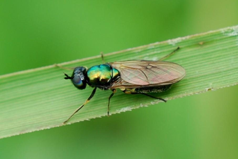 Stratiomydae