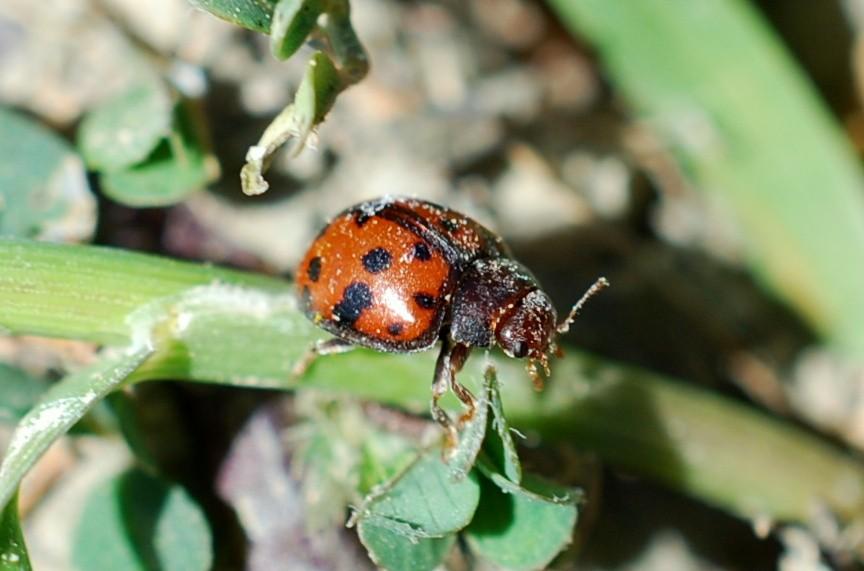 Subcoccinella vigintiquatuorpunctata - Coccinellidae