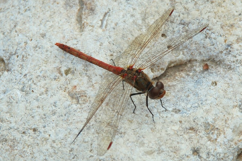 Sympetrum sp. - Libellulidae