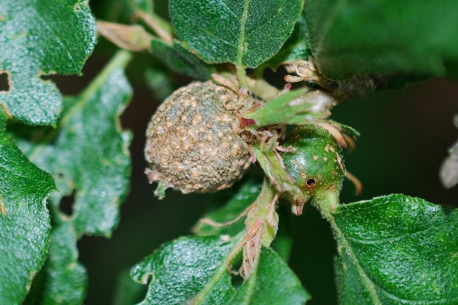 Synophrus politus  - Hymenoptera, Cynipidae