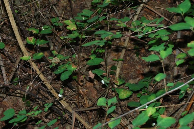 Synphoricarpos albus 10