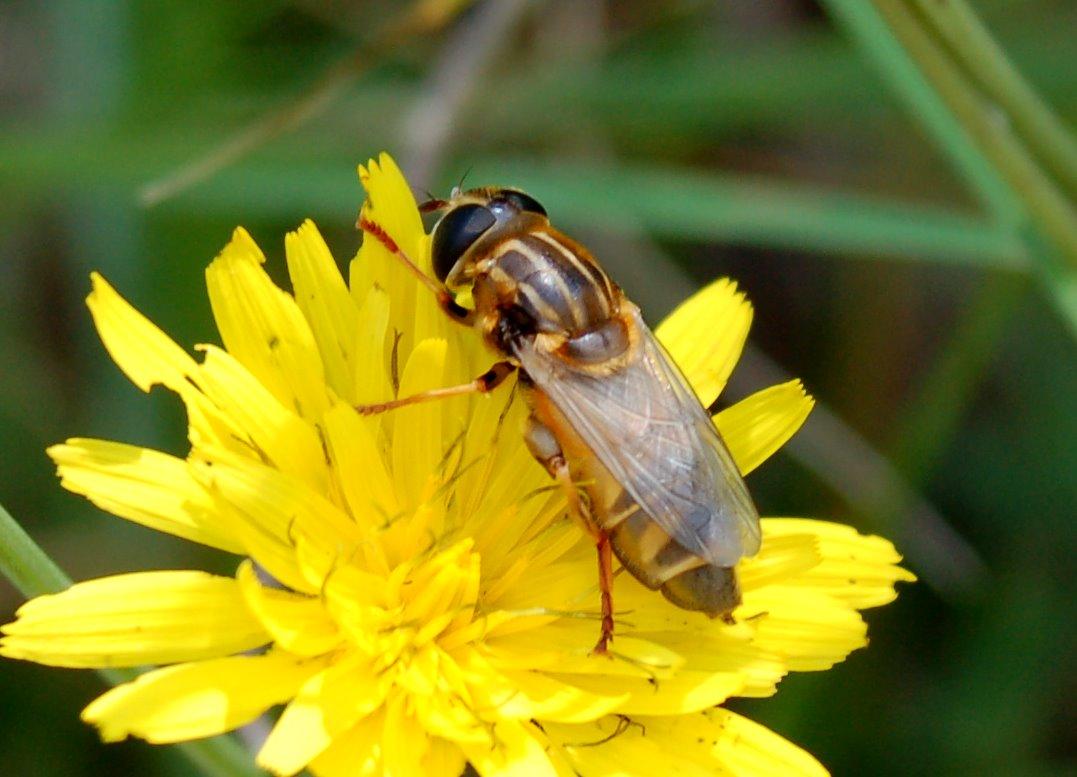 Syrphidae (1)