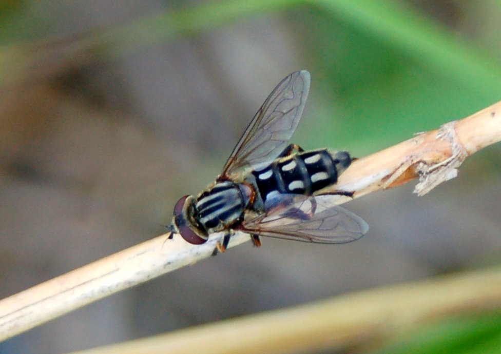 Syrphidae (10)