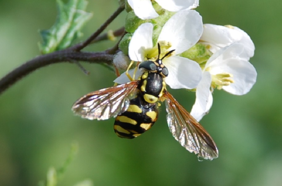 Syrphidae (15)