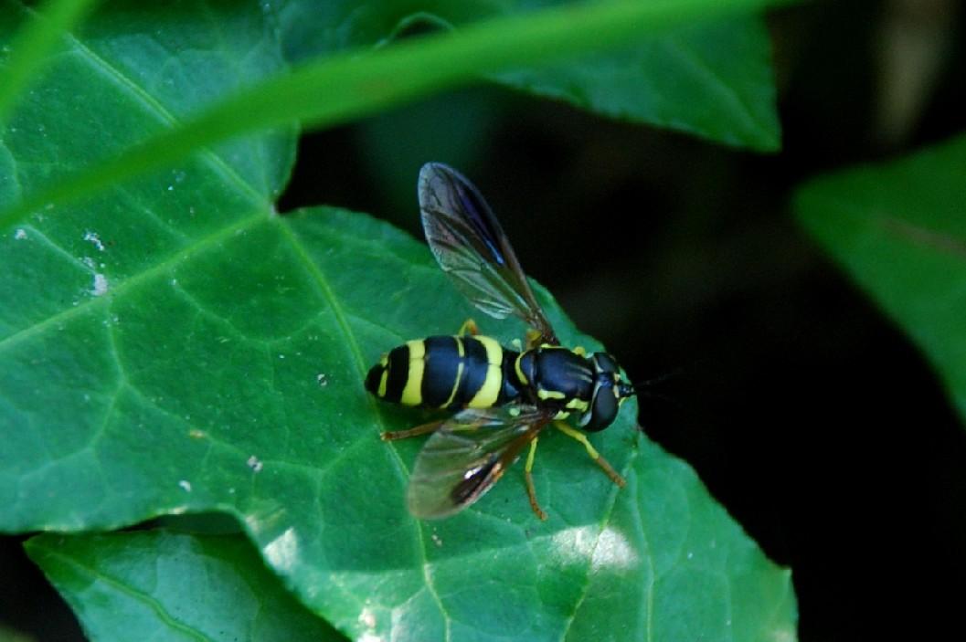 Syrphidae (17)