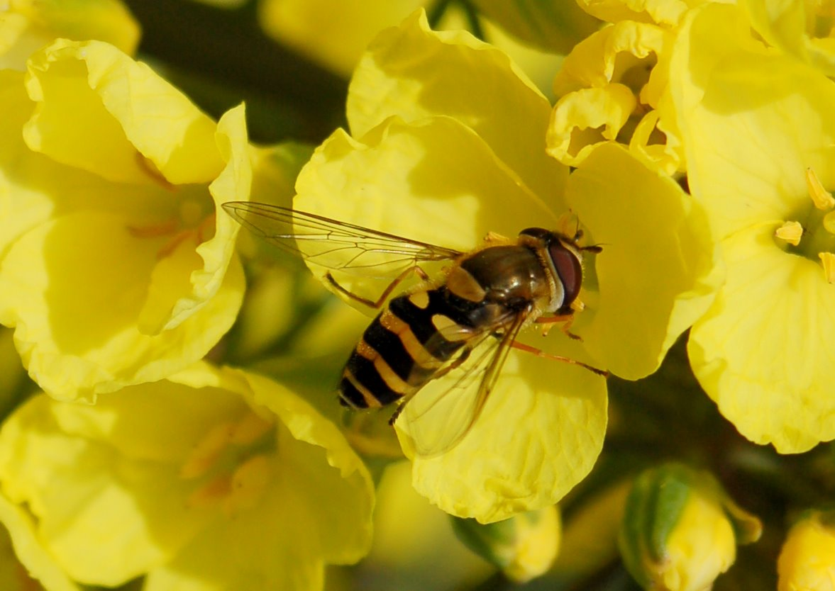 Syrphidae (2)