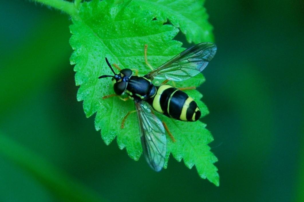 Syrphidae (20
