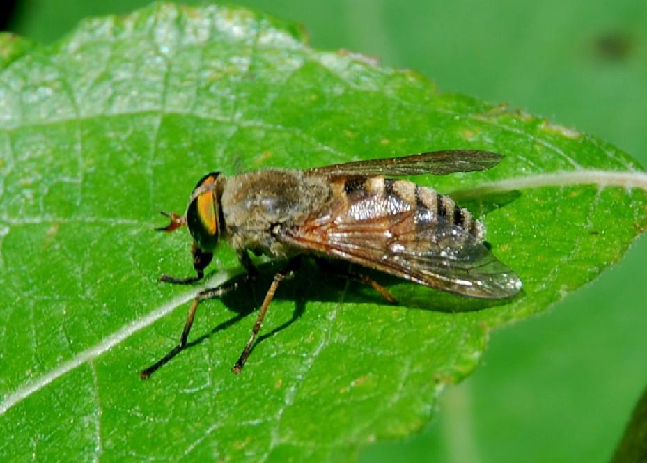 Tabanidae (1)