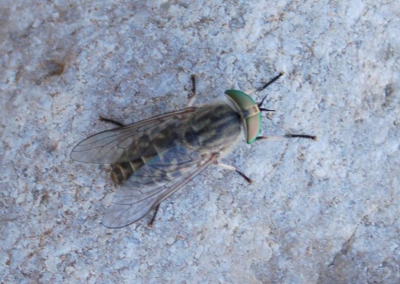 Tabanus autumnalis -  Tabanidae