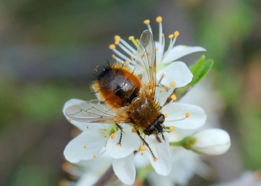 Tachina sp. - Tachinidae
