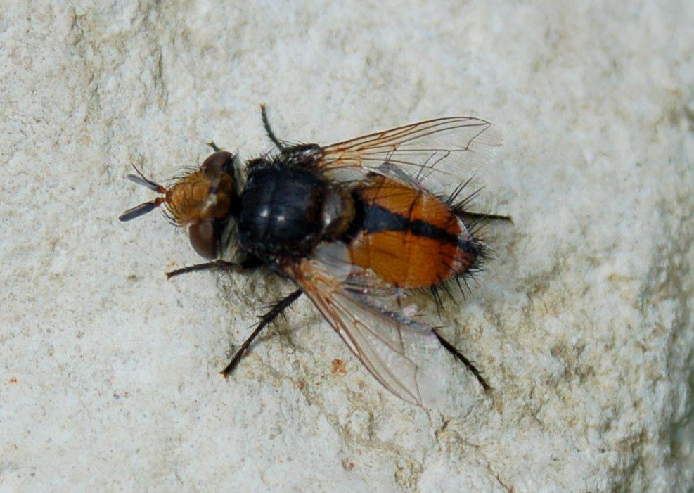 Tachina sp. 2 - Tachinidae