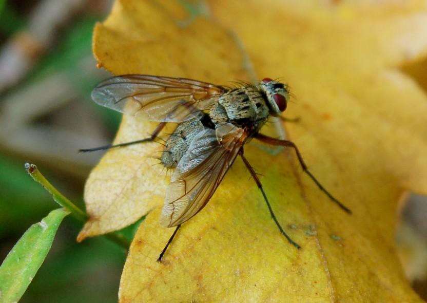 Tachinidae (1)