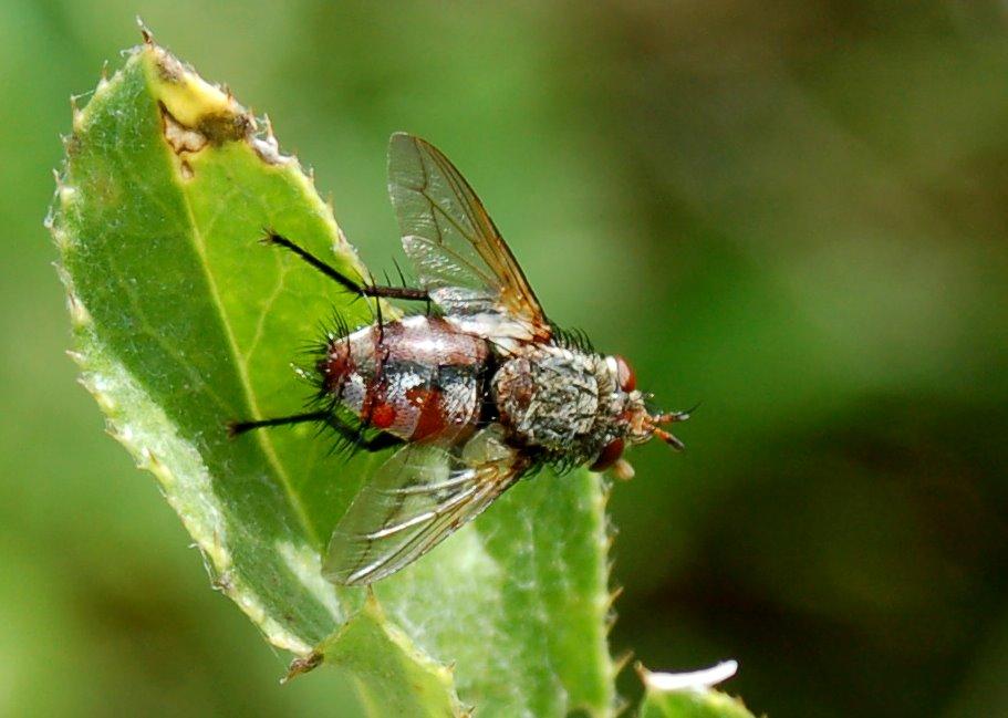Tachinidae (2)