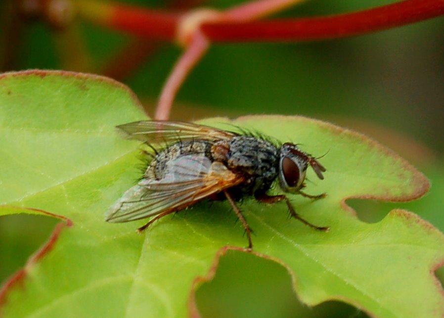 Tachinidae (3)