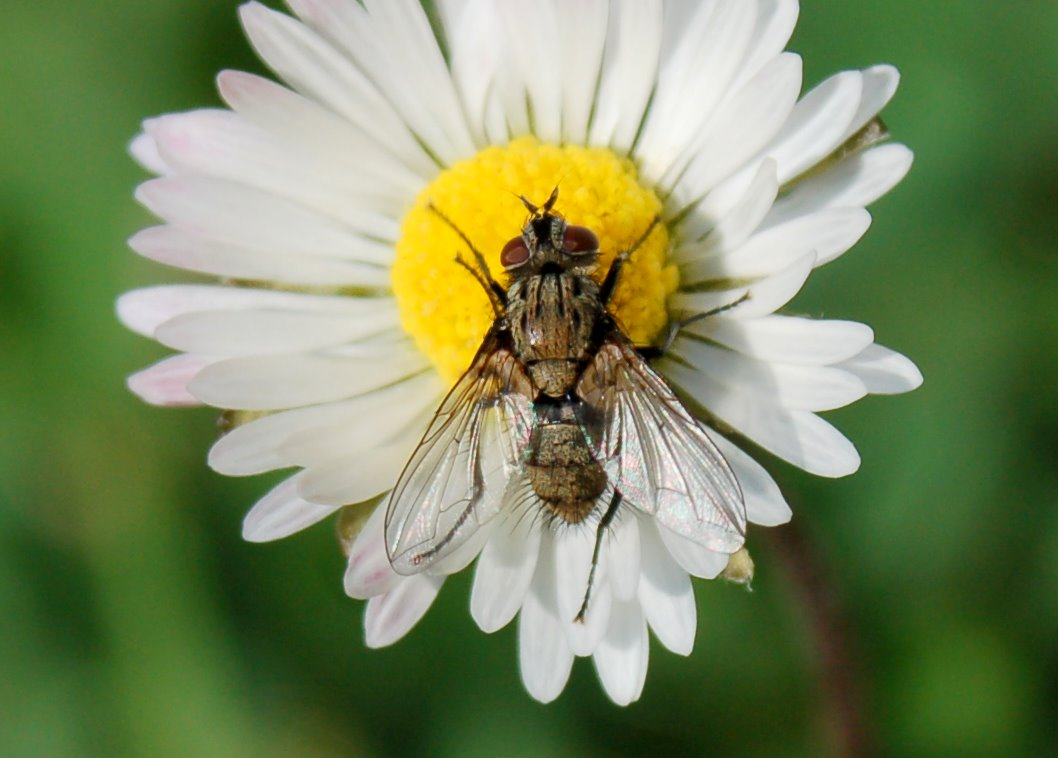Tachinidae (4)