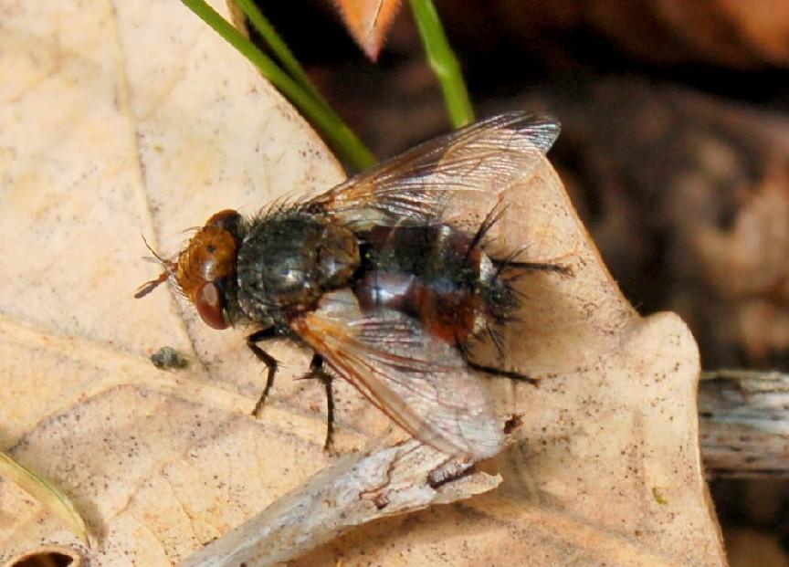 Tachinidae (5)