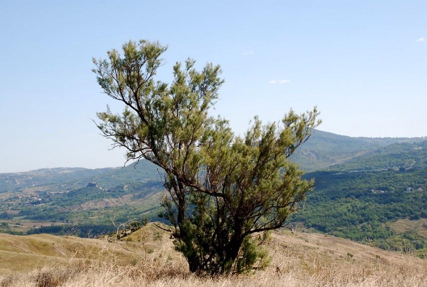 Tamarix africana