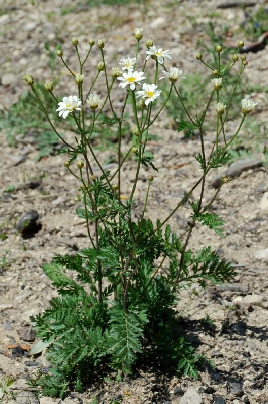 Tanacetum corymbosum subsp. achilleae 12