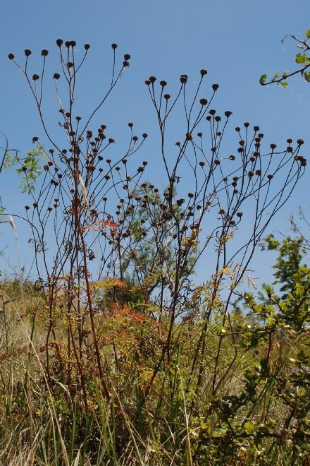 Tanacetum corymbosum subsp. achilleae 7