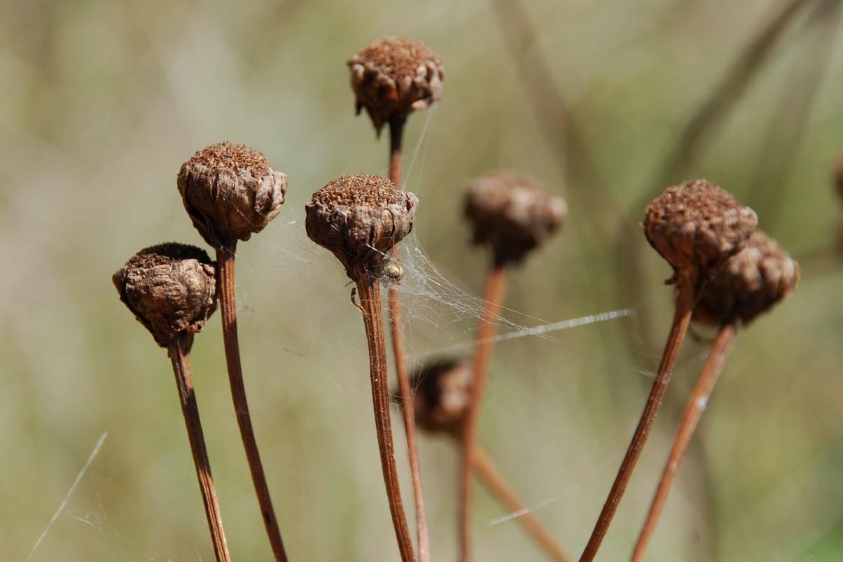 Tanacetum corymbosum subsp. achilleae 8