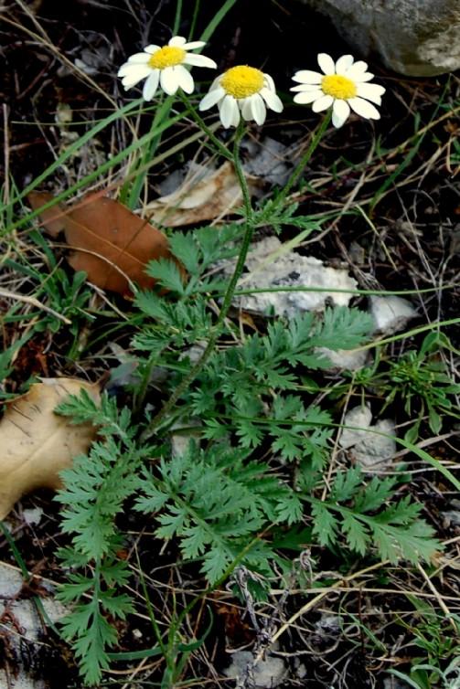 Tanacetum corymbosum susp. achilleae 2
