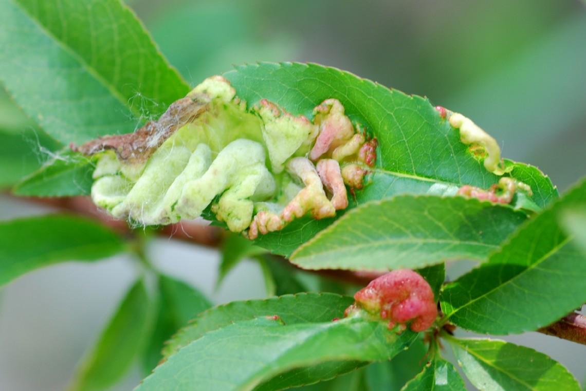 Taphrina deformans - Fungi, Ascomycetes  (Prunus persica)