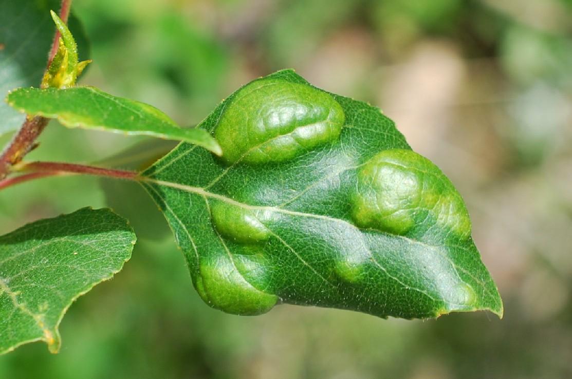 Taphrina populina - Taphrinales, Taphrinaceae (Populus nigra)
